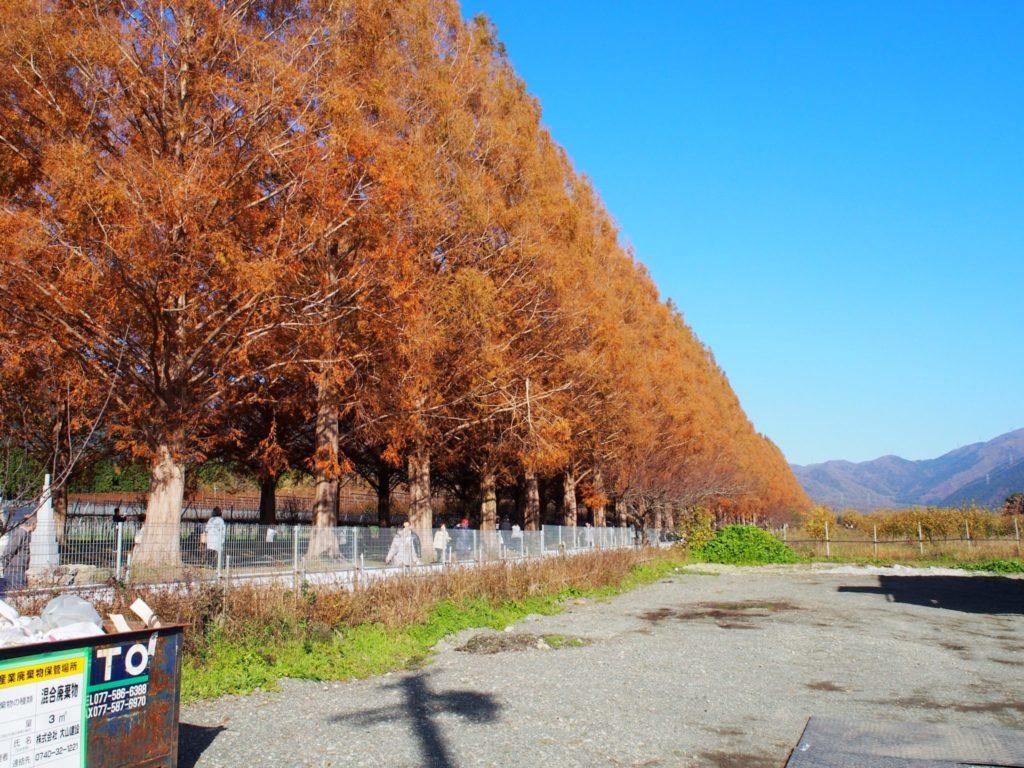 秋は紅葉して黄金色になるメタセコイア並木